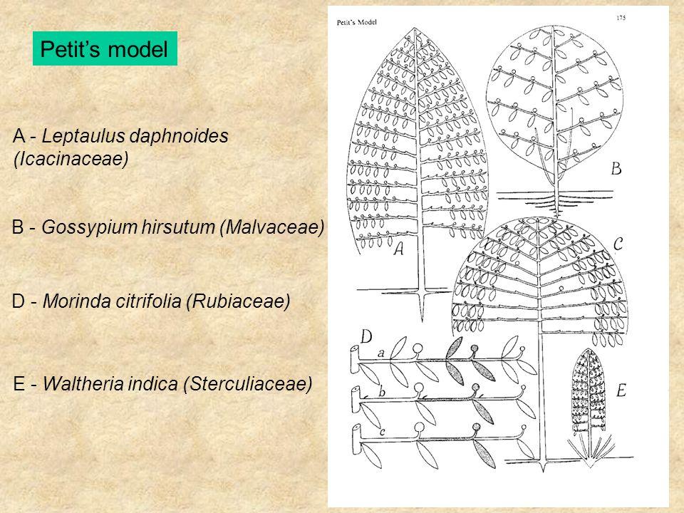 Petit's model A - Leptaulus daphnoides (Icacinaceae) B - Gossypium hirsutum (Malvaceae) D - Morinda citrifolia (Rubiaceae) E - Waltheria indica (Sterc