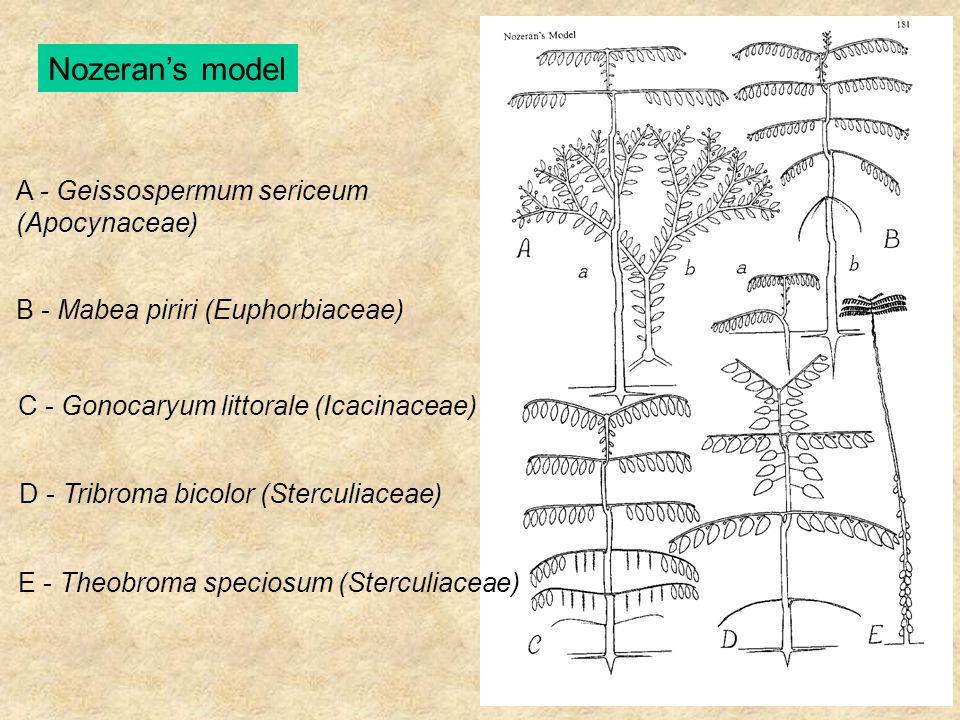 Nozeran's model A - Geissospermum sericeum (Apocynaceae) B - Mabea piriri (Euphorbiaceae) C - Gonocaryum littorale (Icacinaceae) D - Tribroma bicolor