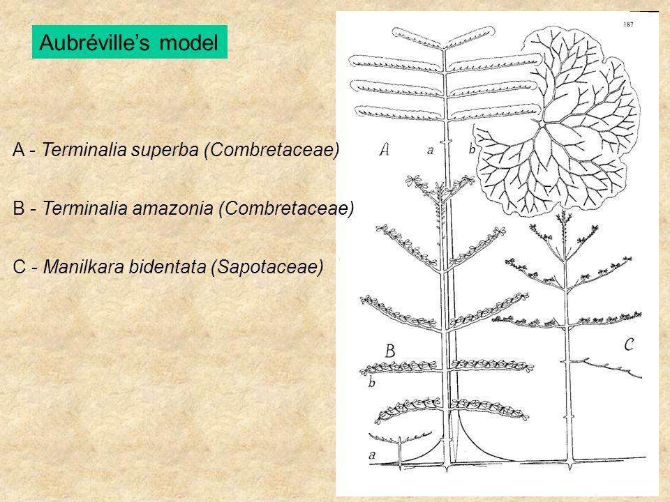 Aubréville's model A - Terminalia superba (Combretaceae) B - Terminalia amazonia (Combretaceae) C - Manilkara bidentata (Sapotaceae)
