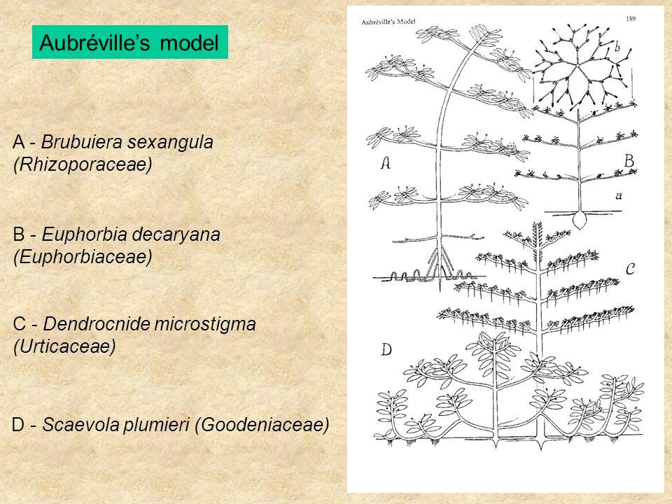 Aubréville's model A - Brubuiera sexangula (Rhizoporaceae) B - Euphorbia decaryana (Euphorbiaceae) C - Dendrocnide microstigma (Urticaceae) D - Scaevo