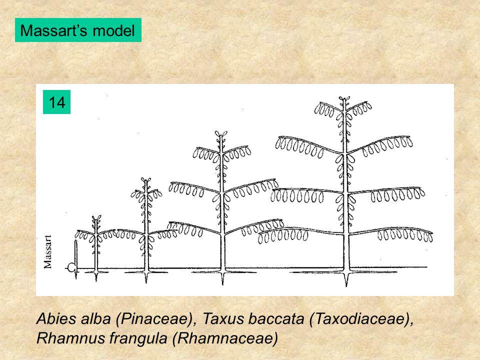 Massart's model 14 Abies alba (Pinaceae), Taxus baccata (Taxodiaceae), Rhamnus frangula (Rhamnaceae)