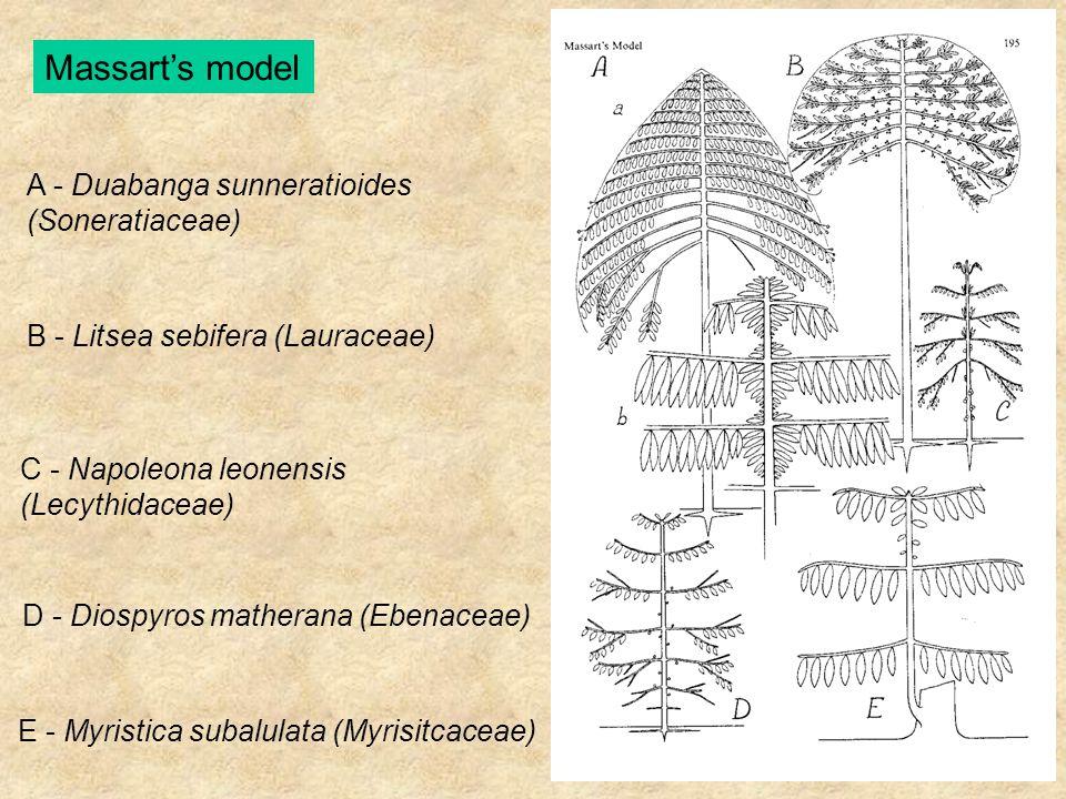 Massart's model C - Napoleona leonensis (Lecythidaceae) D - Diospyros matherana (Ebenaceae) E - Myristica subalulata (Myrisitcaceae) A - Duabanga sunn