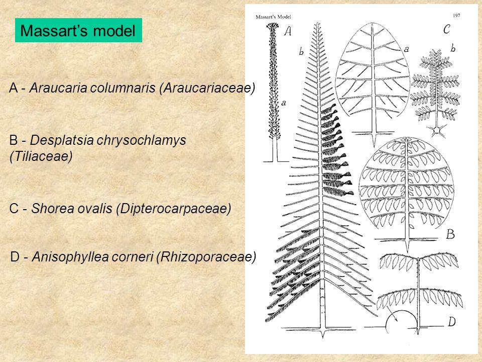 Massart's model A - Araucaria columnaris (Araucariaceae) B - Desplatsia chrysochlamys (Tiliaceae) C - Shorea ovalis (Dipterocarpaceae) D - Anisophylle