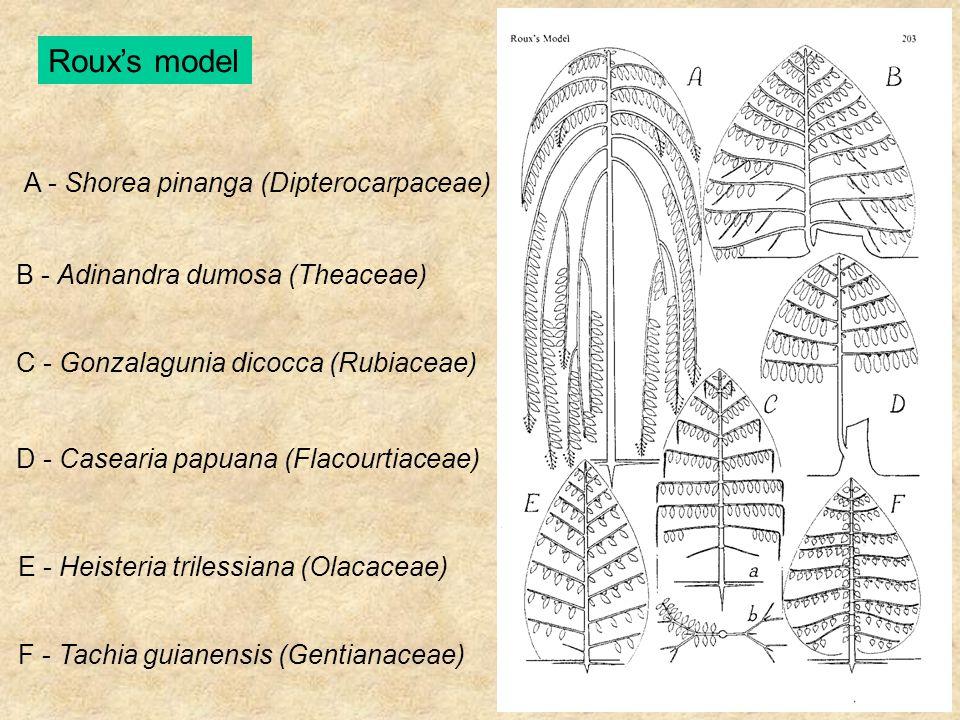 Roux's model A - Shorea pinanga (Dipterocarpaceae) B - Adinandra dumosa (Theaceae) C - Gonzalagunia dicocca (Rubiaceae) D - Casearia papuana (Flacourt