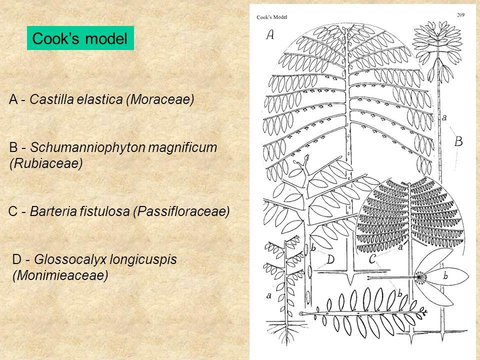 Cook's model A - Castilla elastica (Moraceae) B - Schumanniophyton magnificum (Rubiaceae) C - Barteria fistulosa (Passifloraceae) D - Glossocalyx long