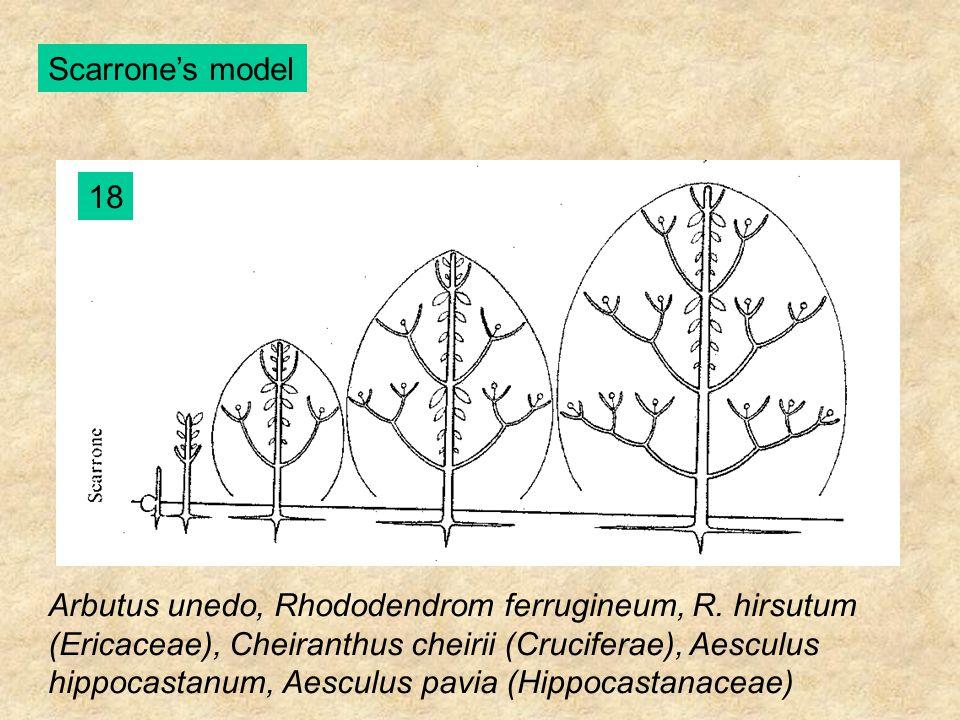 Scarrone's model 18 Arbutus unedo, Rhododendrom ferrugineum, R. hirsutum (Ericaceae), Cheiranthus cheirii (Cruciferae), Aesculus hippocastanum, Aescul