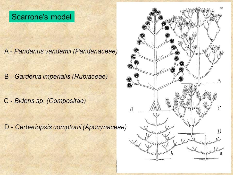 Scarrone's model A - Pandanus vandamii (Pandanaceae) B - Gardenia imperialis (Rubiaceae) C - Bidens sp. (Compositae) D - Cerberiopsis comptonii (Apocy