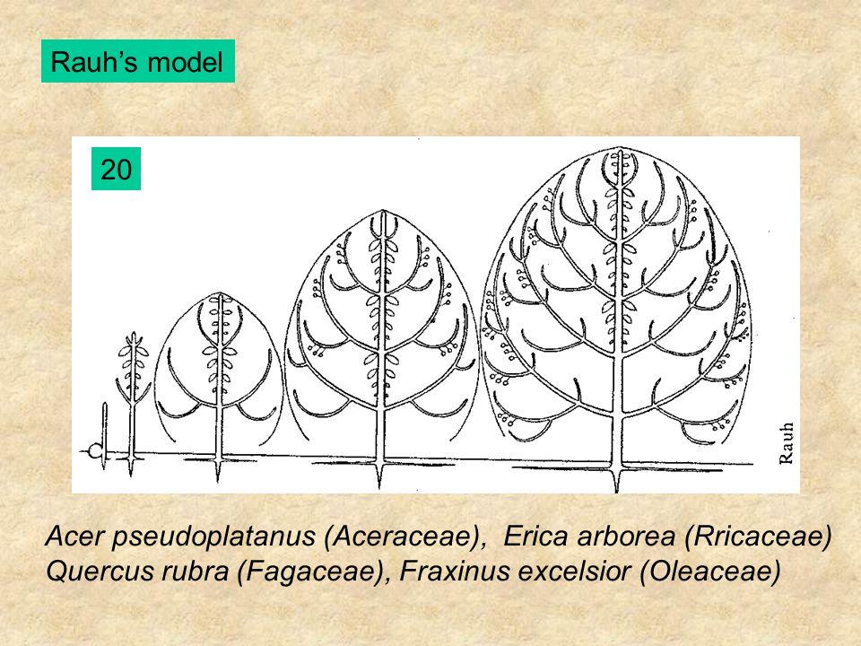 Rauh's model 20 Acer pseudoplatanus (Aceraceae), Erica arborea (Rricaceae) Quercus rubra (Fagaceae), Fraxinus excelsior (Oleaceae)
