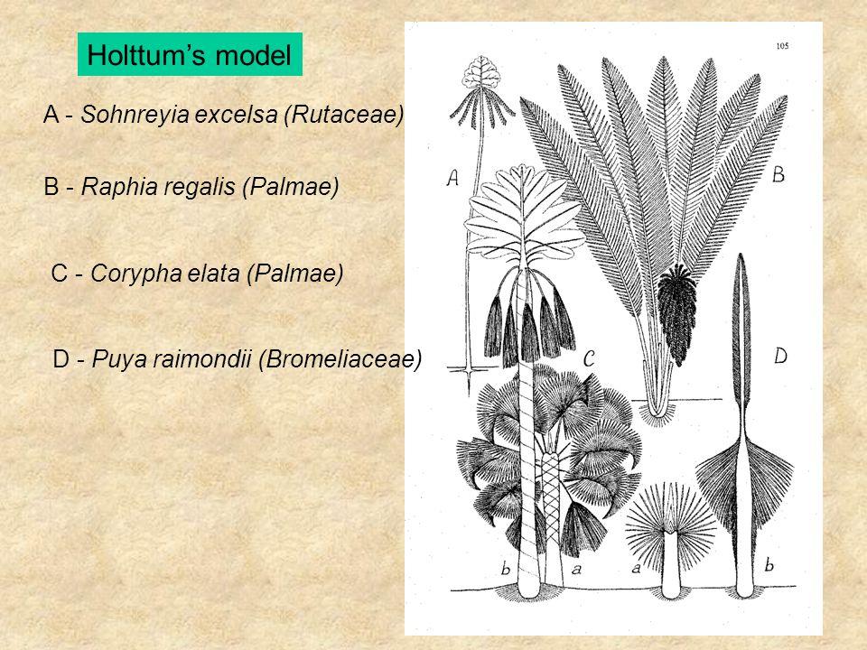 A - Sohnreyia excelsa (Rutaceae) B - Raphia regalis (Palmae) C - Corypha elata (Palmae) D - Puya raimondii (Bromeliaceae) Holttum's model