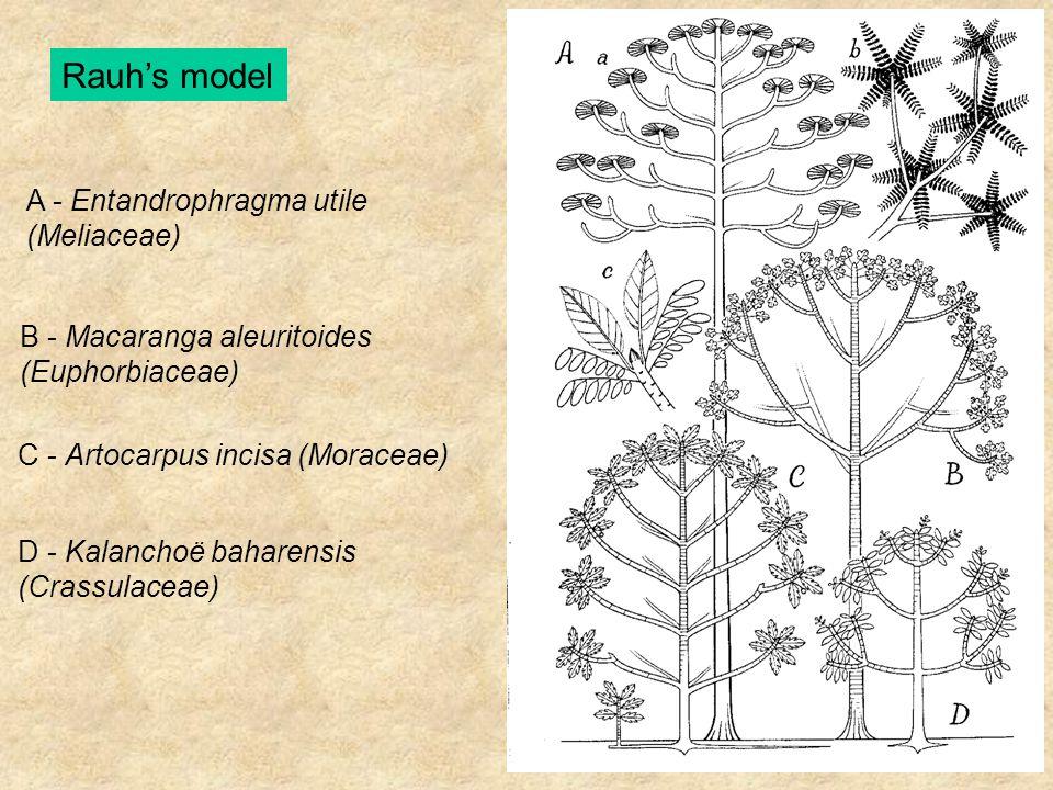 Rauh's model A - Entandrophragma utile (Meliaceae) B - Macaranga aleuritoides (Euphorbiaceae) C - Artocarpus incisa (Moraceae) D - Kalanchoë baharensi