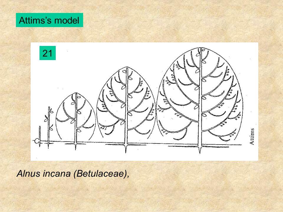 Attims's model 21 Alnus incana (Betulaceae),
