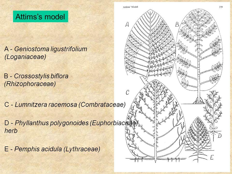Attims's model A - Geniostoma ligustrifolium (Loganiaceae) B - Crossostylis biflora (Rhizophoraceae) C - Lumnitzera racemosa (Combrataceae) D - Phylla