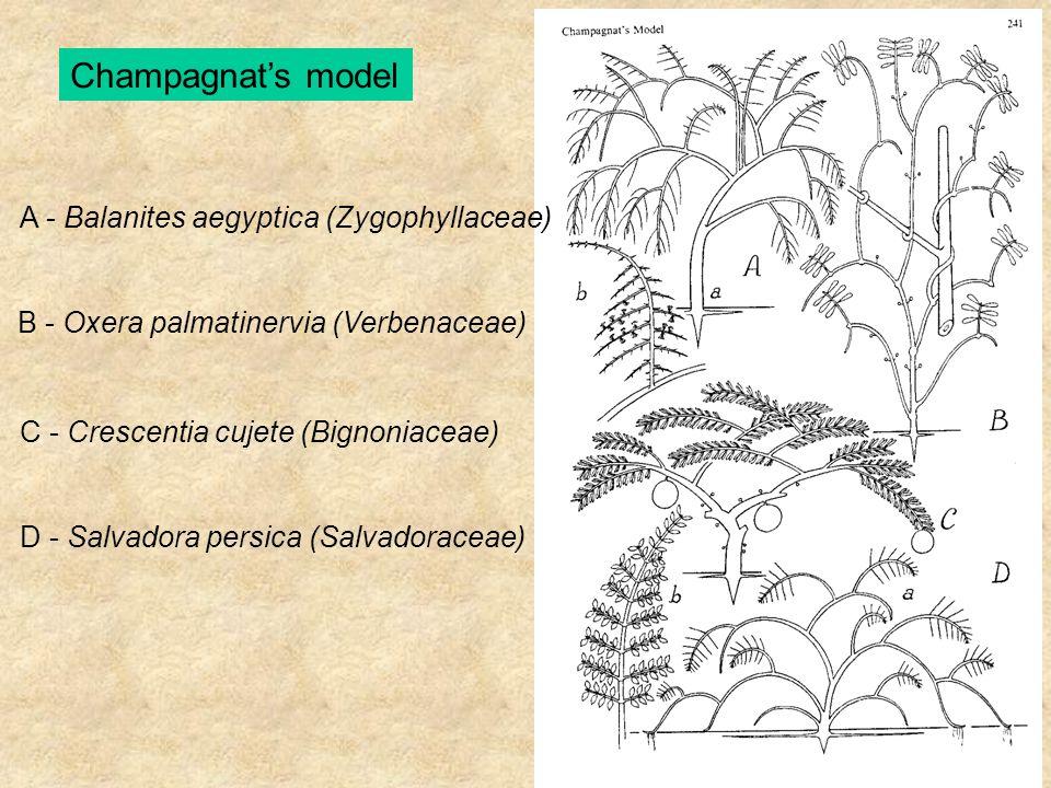 Champagnat's model A - Balanites aegyptica (Zygophyllaceae) B - Oxera palmatinervia (Verbenaceae) C - Crescentia cujete (Bignoniaceae) D - Salvadora p