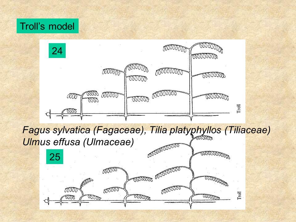 Troll's model 24 Fagus sylvatica (Fagaceae), Tilia platyphyllos (Tiliaceae) Ulmus effusa (Ulmaceae) 25