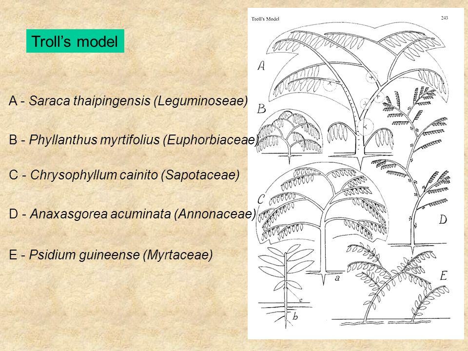 Troll's model A - Saraca thaipingensis (Leguminoseae) B - Phyllanthus myrtifolius (Euphorbiaceae) C - Chrysophyllum cainito (Sapotaceae) D - Anaxasgor