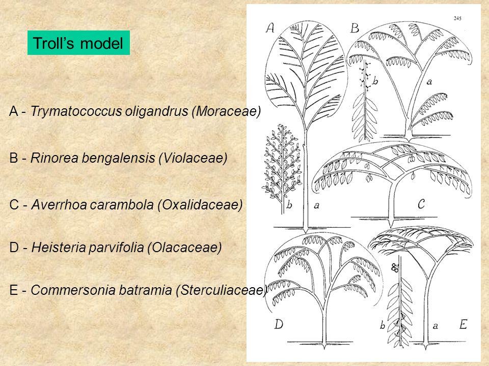 Troll's model A - Trymatococcus oligandrus (Moraceae) B - Rinorea bengalensis (Violaceae) C - Averrhoa carambola (Oxalidaceae) D - Heisteria parvifoli