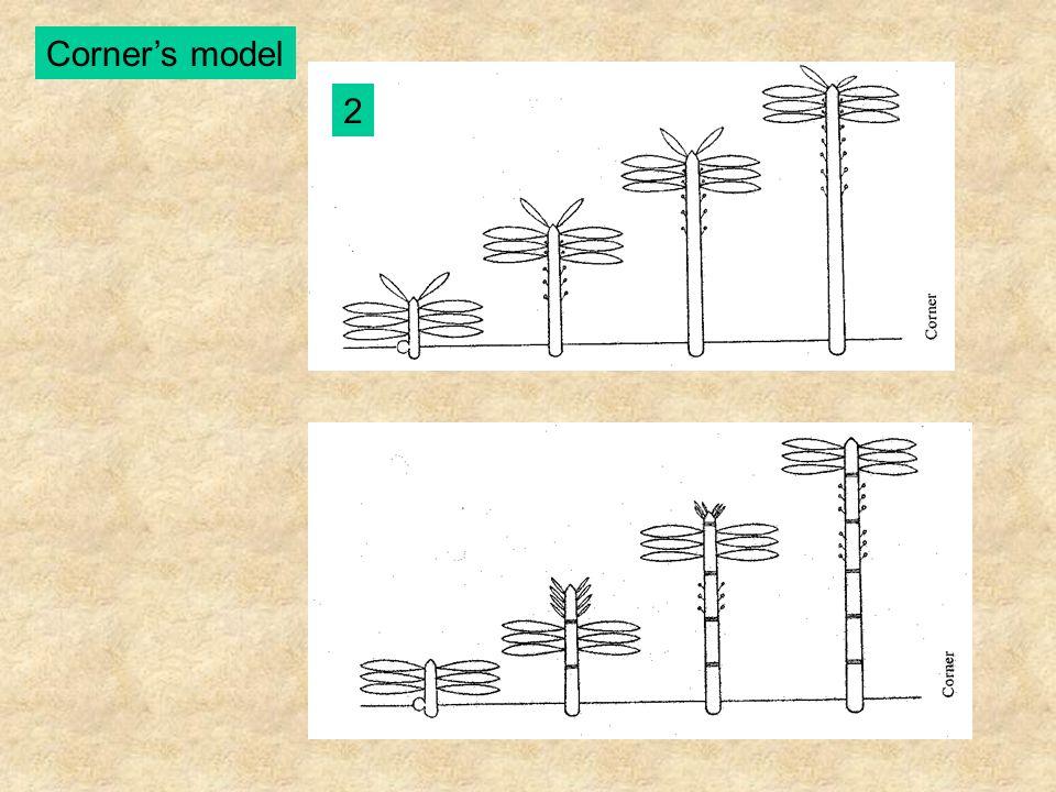 Rauh's model A - Entandrophragma utile (Meliaceae) B - Macaranga aleuritoides (Euphorbiaceae) C - Artocarpus incisa (Moraceae) D - Kalanchoë baharensis (Crassulaceae)