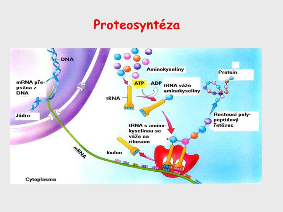 Proteosyntéza