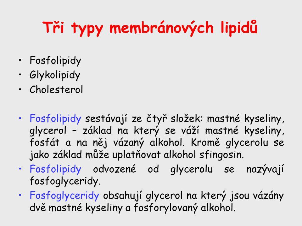 Tři typy membránových lipidů Fosfolipidy Glykolipidy Cholesterol Fosfolipidy sestávají ze čtyř složek: mastné kyseliny, glycerol – základ na který se