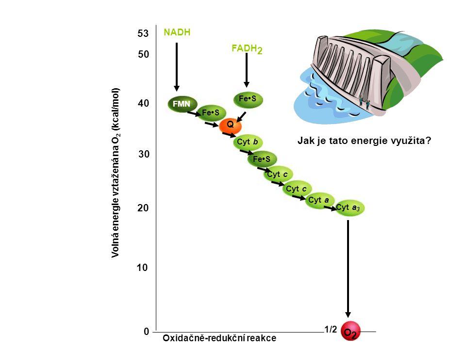 NADH FADH 2 O2O2 1/2 Oxidačně-redukční reakce 0 10 20 30 40 50 53 Volná energie vztažená na O 2 (kcal/mol) FeS FMN Q Cyt b FeS Cyt c Cyt a Cyt a 3 Jak je tato energie využita
