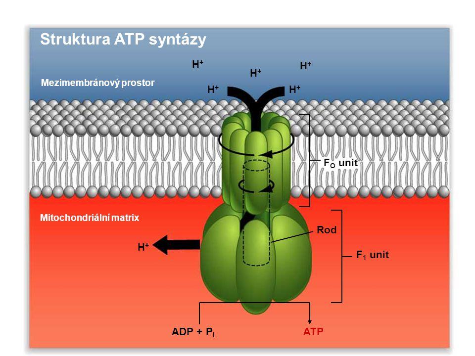 H+H+ H+H+ H+H+ H+H+ H+H+ Struktura ATP syntázy Mezimembránový prostor Mitochondriální matrix H+H+ ADP + P i ATP Rod F 1 unit F O unit
