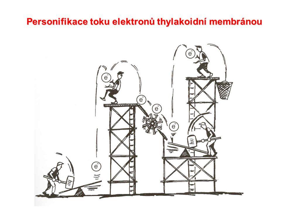 Personifikace toku elektronů thylakoidní membránou