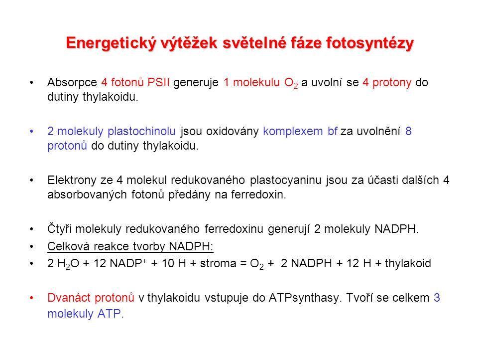 Energetický výtěžek světelné fáze fotosyntézy Absorpce 4 fotonů PSII generuje 1 molekulu O 2 a uvolní se 4 protony do dutiny thylakoidu.
