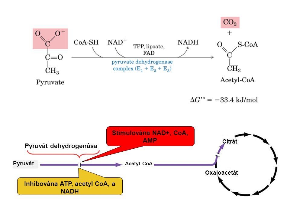 Pyruvát Acetyl CoA Oxaloacetát Citrát Pyruvát dehydrogenása Inhibována ATP, acetyl CoA, a NADH Stimulována NAD+, CoA, AMP