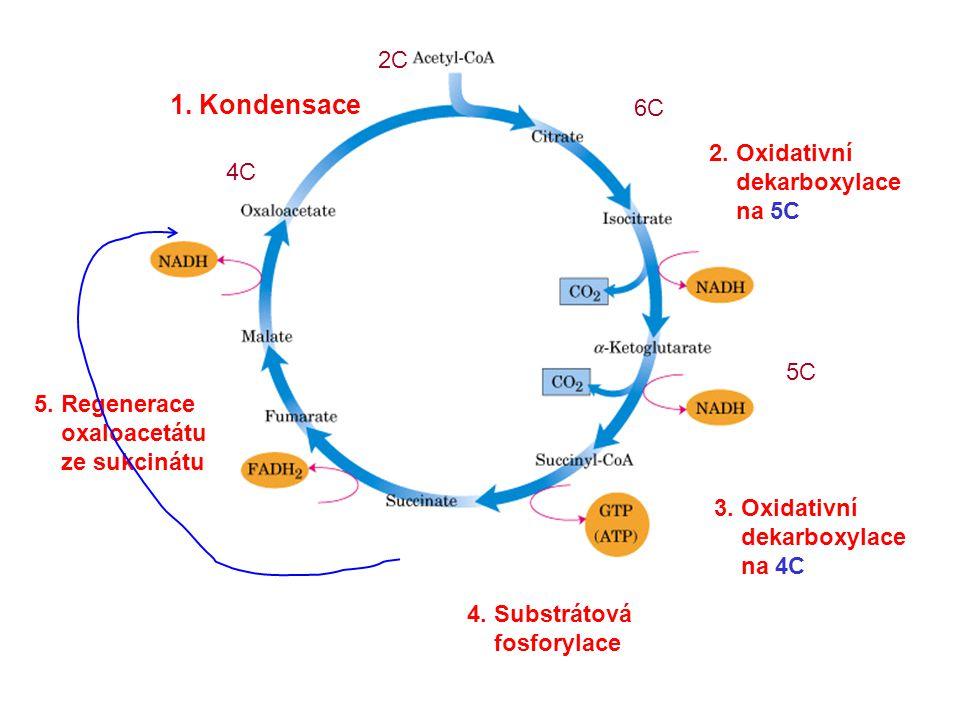 1. Kondensace 4C 2. Oxidativní dekarboxylace na 5C 3.