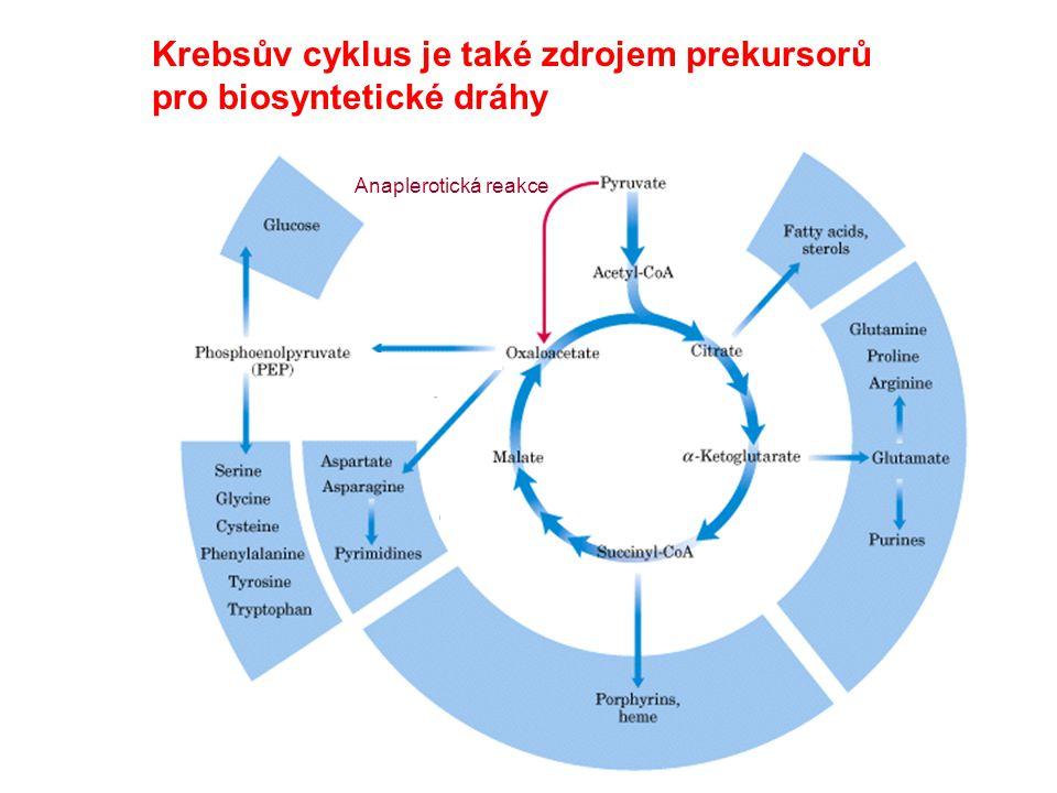 Krebsův cyklus je také zdrojem prekursorů pro biosyntetické dráhy Anaplerotická reakce