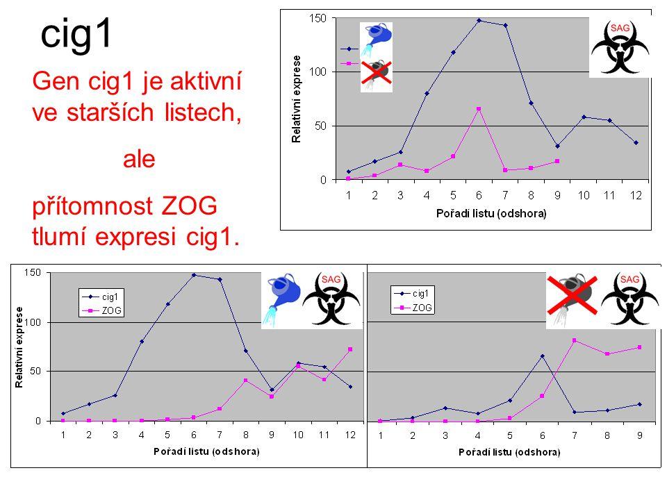Sucho tlumí expresi cig1. cig1 Přítomnost ZOG tlumí expresi cig1.