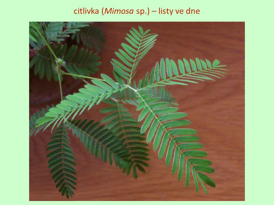citlivka (Mimosa sp.) – listy ve dne