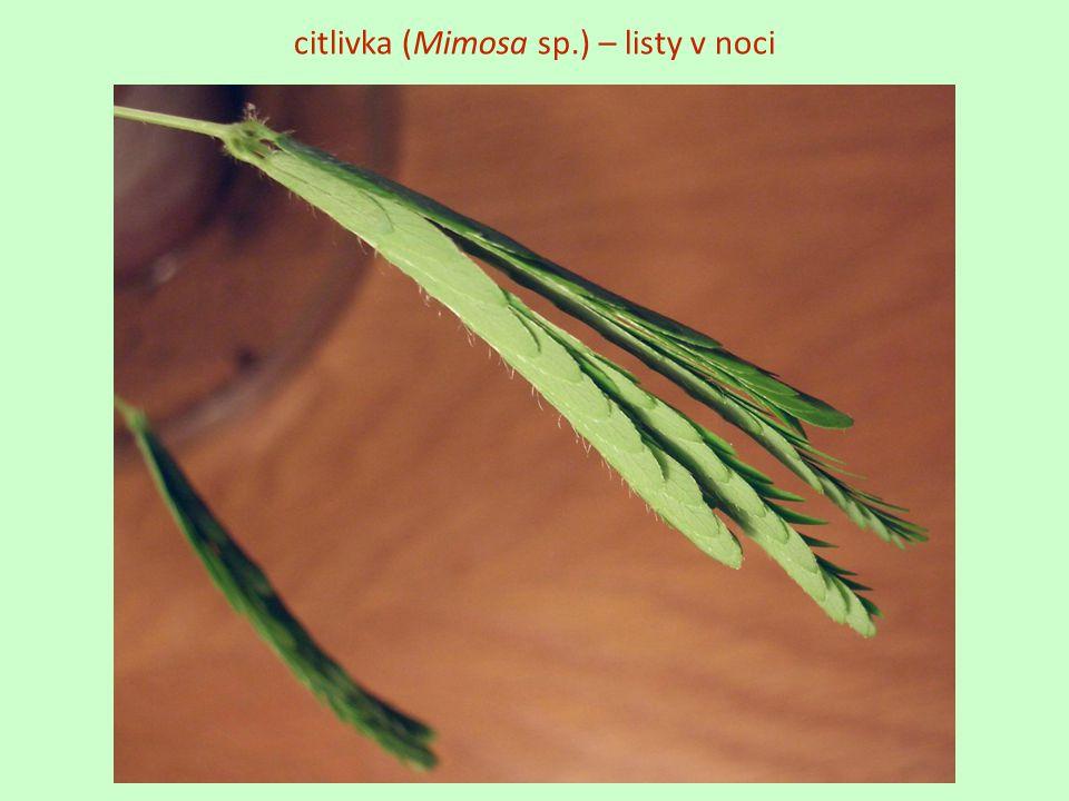 citlivka (Mimosa sp.) – listy v noci