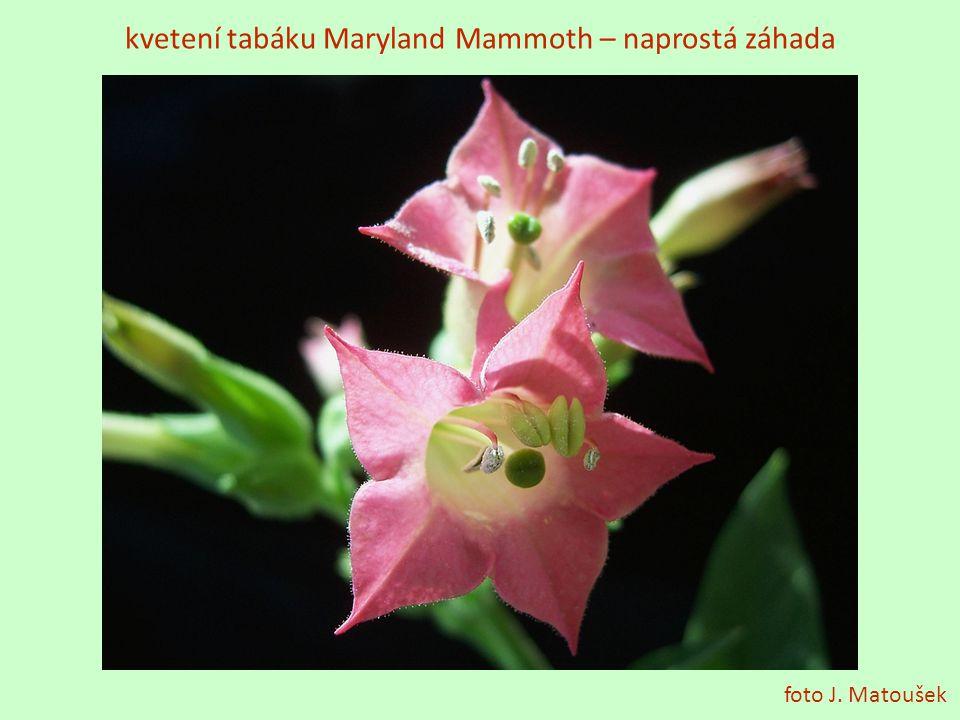 kvetení tabáku Maryland Mammoth – naprostá záhada foto J. Matoušek