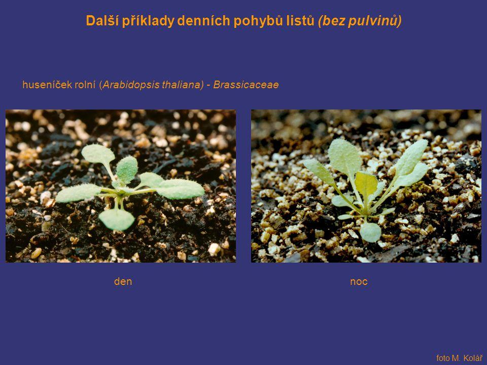 Další příklady denních pohybů listů (bez pulvinů) huseníček rolní (Arabidopsis thaliana) - Brassicaceae nocden foto M. Kolář