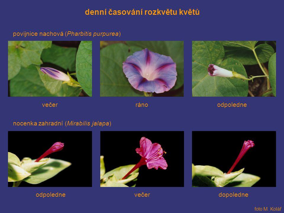 denní časování rozkvětu květů povijnice nachová (Pharbitis purpurea) foto M. Kolář nocenka zahradní (Mirabilis jalapa) odpolednevečerráno dopoledneodp