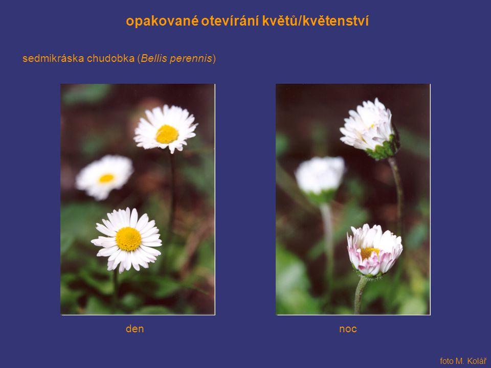 opakované otevírání květů/květenství sedmikráska chudobka (Bellis perennis) foto M. Kolář dennoc