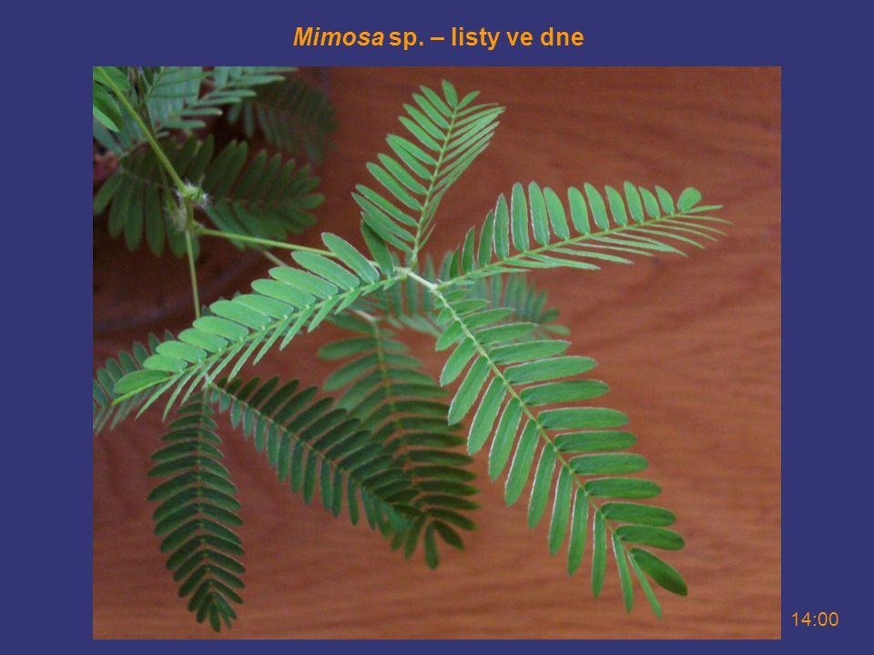 Mimosa sp. – listy ve dne 14:00