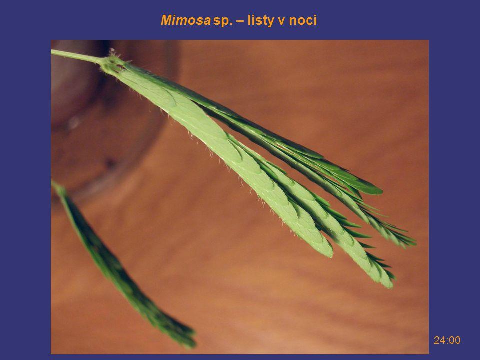 Mimosa sp. – listy v noci 24:00