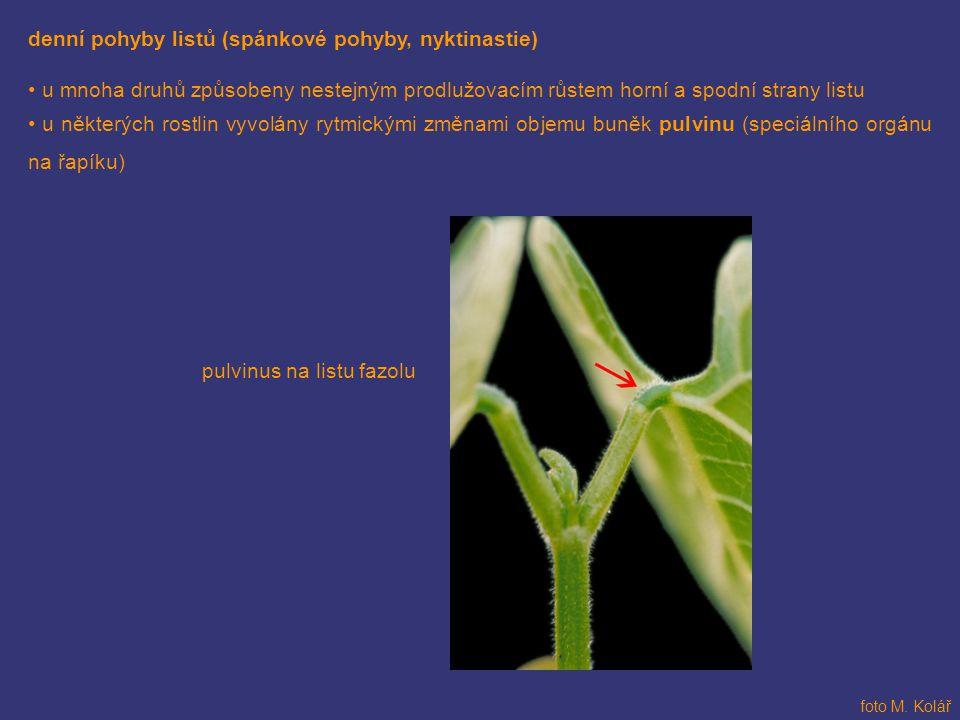 denní pohyby listů (spánkové pohyby, nyktinastie) u mnoha druhů způsobeny nestejným prodlužovacím růstem horní a spodní strany listu u některých rostl