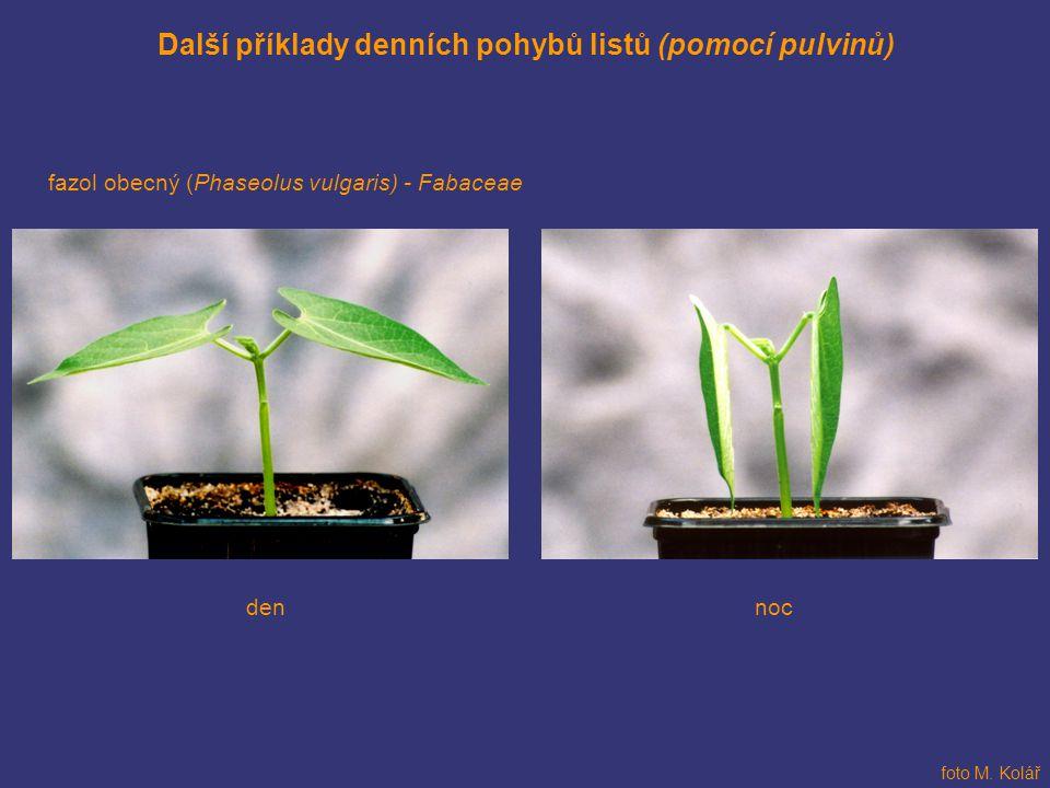 Další příklady denních pohybů listů (pomocí pulvinů) fazol obecný (Phaseolus vulgaris) - Fabaceae nocden foto M. Kolář