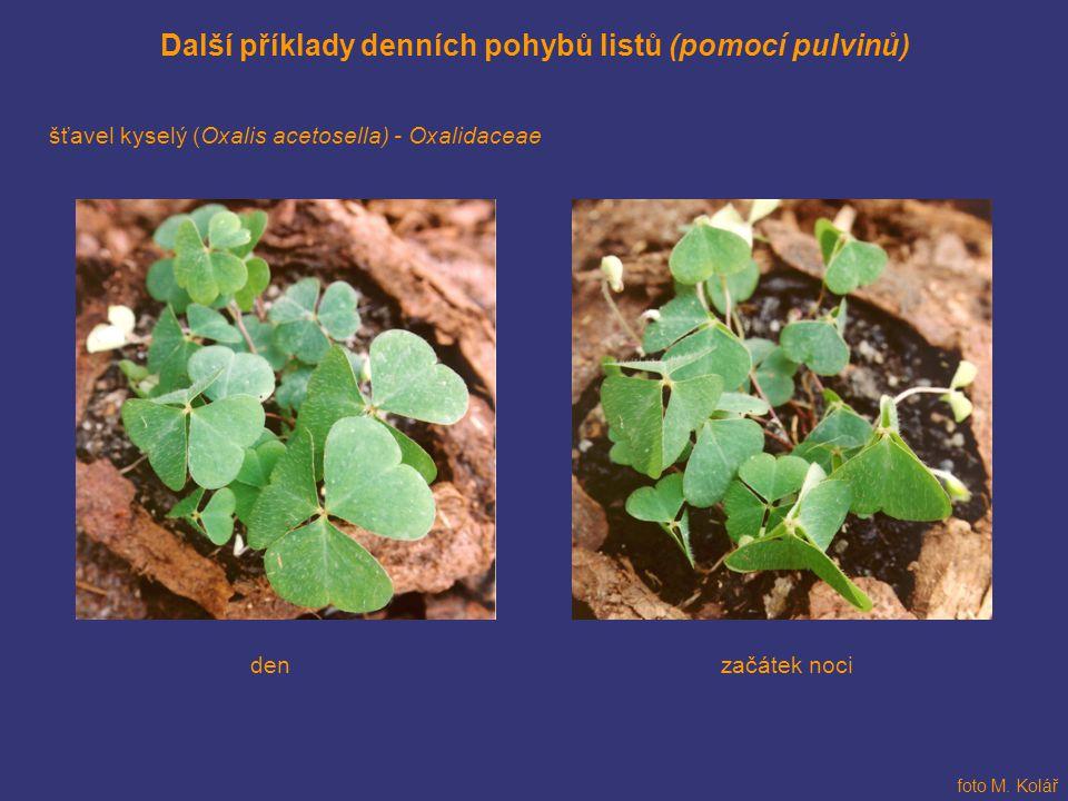 Další příklady denních pohybů listů (pomocí pulvinů) šťavel kyselý (Oxalis acetosella) - Oxalidaceae začátek nociden foto M. Kolář