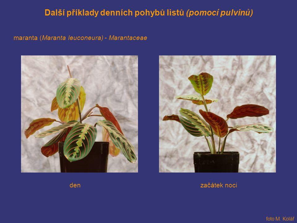 Další příklady denních pohybů listů (pomocí pulvinů) maranta (Maranta leuconeura) - Marantaceae začátek nociden foto M. Kolář