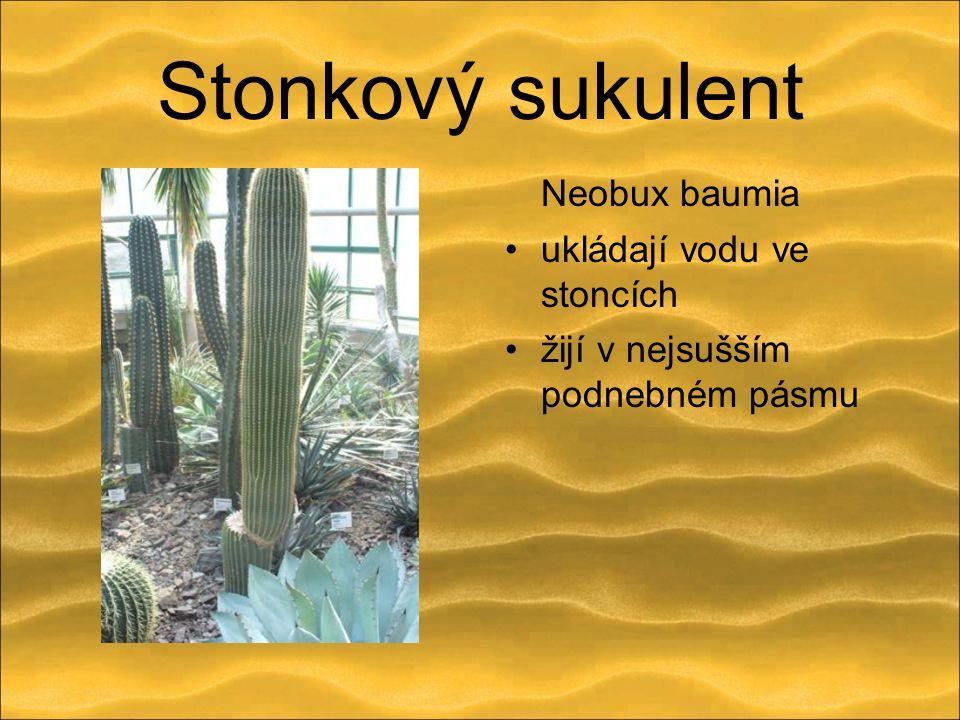 Stonkový sukulent Neobux baumia ukládají vodu ve stoncích žijí v nejsušším podnebném pásmu
