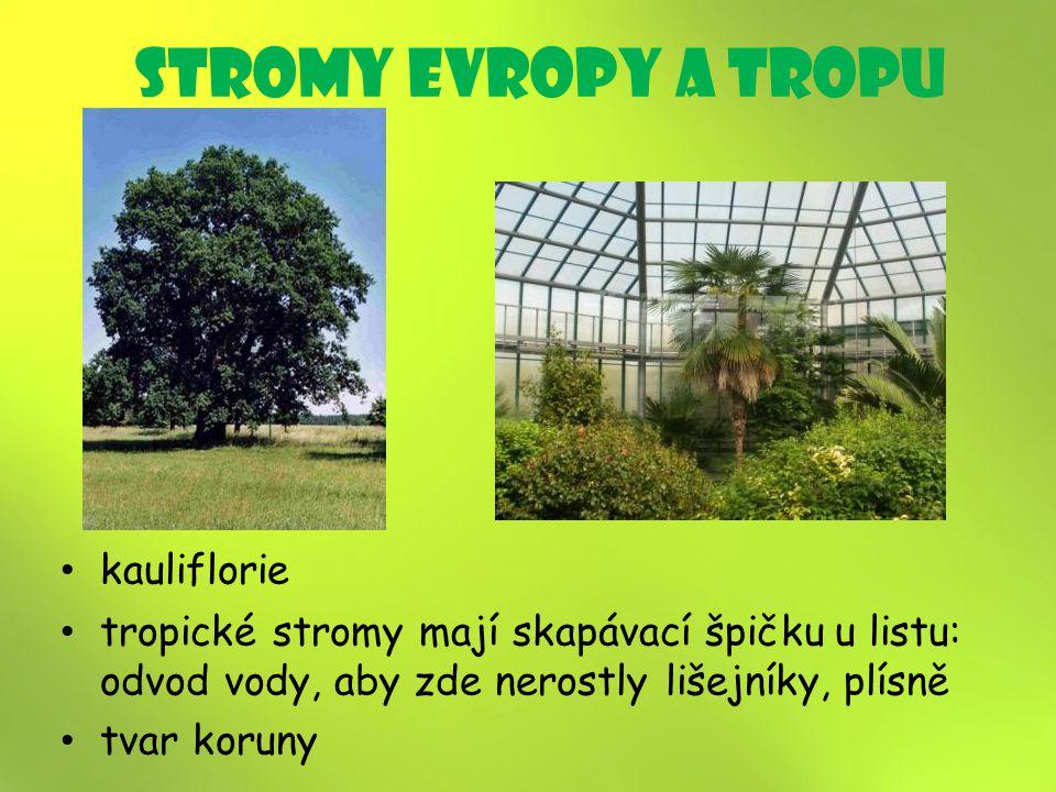 stromy Evropy a tropU kauliflorie tropické stromy mají skapávací špičku u listu: odvod vody, aby zde nerostly lišejníky, plísně tvar koruny