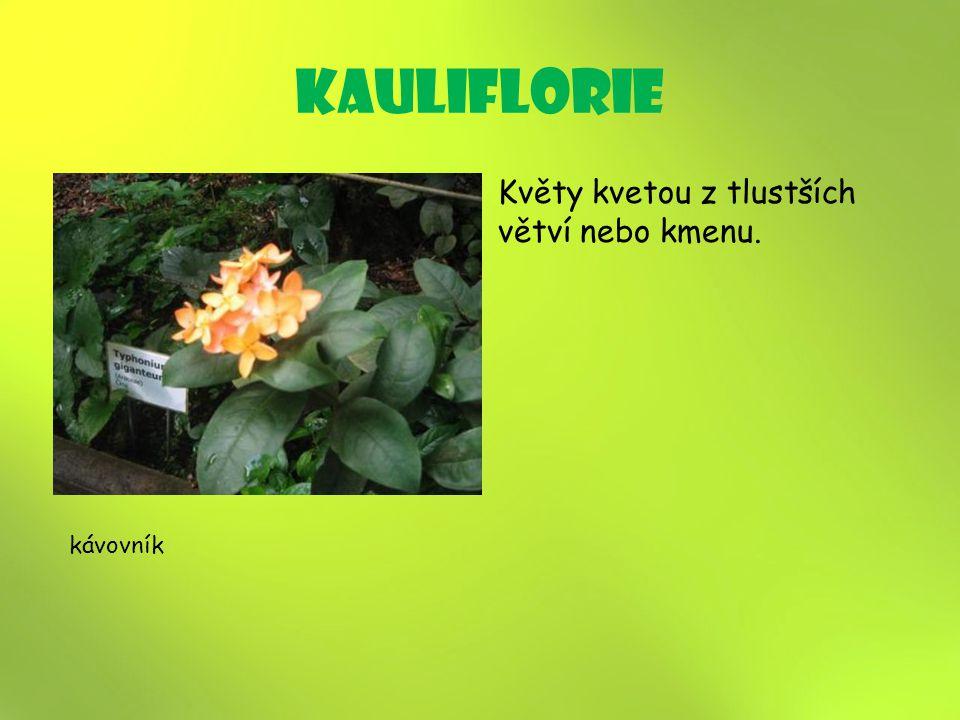 kauliflorie Květy kvetou z tlustších větví nebo kmenu. kávovník