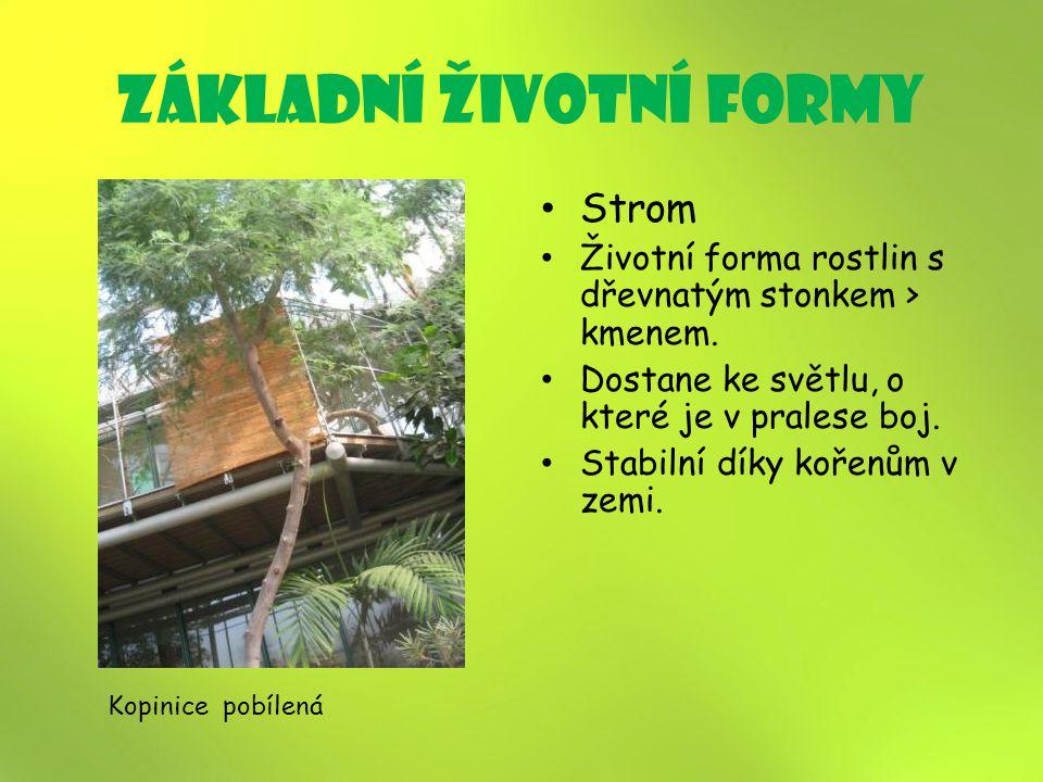 základní životní formy Strom Životní forma rostlin s dřevnatým stonkem > kmenem.