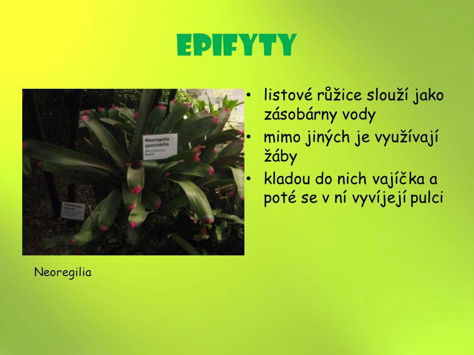 epifyty listové růžice slouží jako zásobárny vody mimo jiných je využívají žáby kladou do nich vajíčka a poté se v ní vyvíjejí pulci Neoregilia