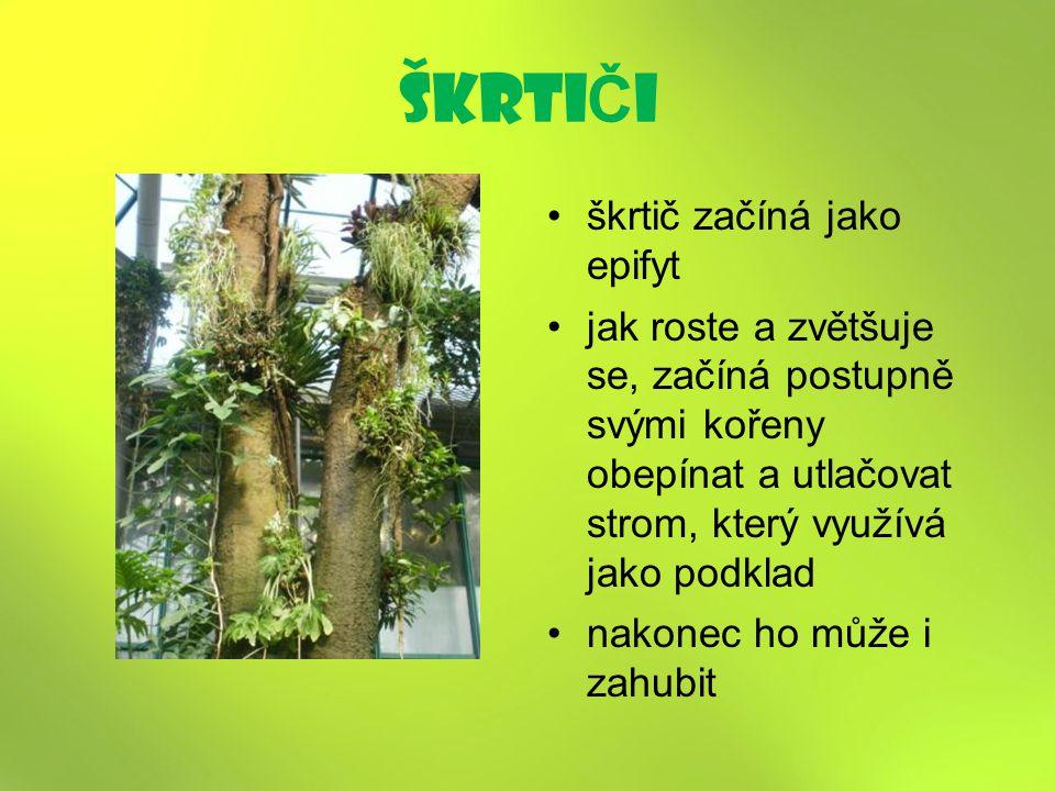 škrti Č i škrtič začíná jako epifyt jak roste a zvětšuje se, začíná postupně svými kořeny obepínat a utlačovat strom, který využívá jako podklad nakonec ho může i zahubit
