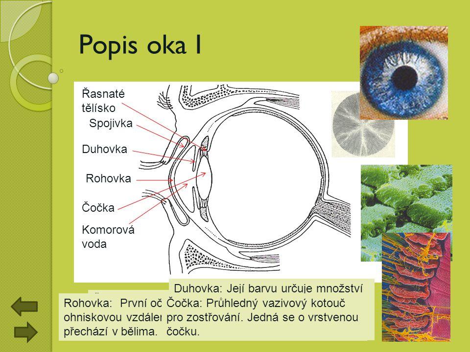 Řasnaté tělísko: Jeho úkolem je měnit optickou mohutnost čočky pohybem řasnatého svalu. Popis oka I Spojivka Rohovka Komorová voda Řasnaté tělísko Duh